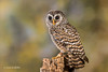 Chaco Owl D50_4520.jpg (Mobile Lynn) Tags: chacoowl birds owls nature captive bird fauna strigiformes strixchacoensis wildlife nocturnal ringwood england unitedkingdom gb coth specanimal coth5 ngc sunrays5 npc