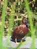 Cinnamon Teal - Arizona by SpeedyJR (SpeedyJR) Tags: ©2016janicerodriguez sweetwaterwetlands tucsonaz cinnamonteal teals birds wildlife nature tucsonarizona arizona speedyjr