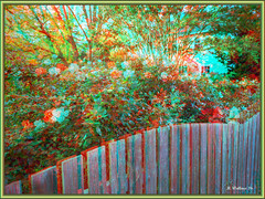 Brian_Roses And Fence 1c LG_111116_A (starg82343) Tags: