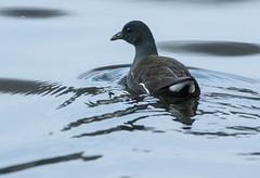 Moorhen (1) (grahamh1651) Tags: helstonboatinglake birds gulls ducks geese waterbirds swans