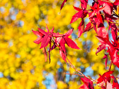 Red maple leaf yellow background (Ray Duffill) Tags: autumn yellow red tree maple