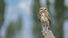Burrowing Owl (Peter Stahl Photography) Tags: burrowingowl owl mendozaargentina argentina