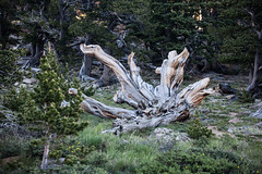 Tree (PhotoBobil) Tags: colorado mtevans scenery