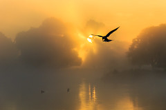 Silhouettes: common tern (stephen.darlington) Tags: bird bushypark commontern flight fog foggy golden hovering light mist misty silhouette sternahirundo sunrise surrey tern