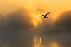 Silhouettes: common tern (stephen.darlington) Tags: bird bushypark commontern flight fog foggy golden hovering light mist misty silhouette sternahirundo sunrise surrey tern