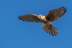Hovering kestrel (bodro) Tags: americankestrel bolsachica hawk birds ecologicalreserve falcon hovering raptor wetlands wingspan