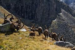 Val d'Aosta - Valsavarenche: vallone di Levionaz, oltre, il sentiero che arriva allo Chabod (Escursionisti Esperti) (mariagraziaschiapparelli) Tags: allegrisinasceosidiventa montagna mountain levionaz casolaridilevionaz pngp parconazionaledelgranparadiso camminata escursionismo valdaosta valsavarenche stambecco