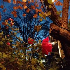 #roses #dawn #december #rosesstillblooming (Sivyaleah (Elora)) Tags: rose outdoor december bloom dawn nj new jersey knock out tree winter hydrangea