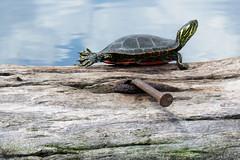 Piątka! (High five.) (§ ßΘΘ⊂нє⊂к) Tags: wood lake eye water turtle reptile painted nail shell western loonlake gad loon woda reptiles oko żółw picta gady jezioro chrysemys drewno bellii łapa skorupa zwierzę gwóźdź kłoda malowany płetwa kręgowiec
