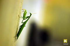"Mantis (வெட்டுக்கிளி ) • <a style=""font-size:0.8em;"" href=""http://www.flickr.com/photos/86056586@N00/20752738240/"" target=""_blank"">View on Flickr</a>"