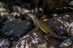 Greater Earless Lizard 2 (TheReilDeal) Tags: nature animals texas wildlife lizard bigbendnationalpark bigbend greaterearlesslizard
