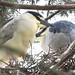 heron couple