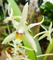 Epigeneium cymbidioides (Sylvio-Orquídeas) Tags: flowers flores orchids orchidaceae species orquídeas epigeneium espécies cymbidioides