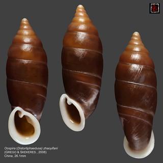 oospira (distortiphaedusa) zhaoyifani chine 26mm1