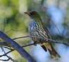Olive Backed Oriole (tregotha1) Tags: kingscliff