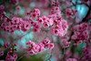 blireana plum blossoms (Sam Scholes) Tags: pink flowers flower nature garden utah us spring unitedstates blossoms saltlakecity springflowers floweringplum redbuttegarden rosefamily blireanaplum prenusxblireana