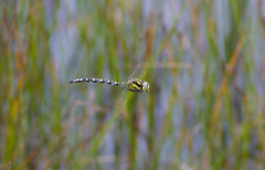 Southern Hawker (wayne.withers1970) Tags: dragonflies hawkers damselflies chasers damsels darters