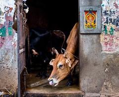 Moo (rameshsar) Tags: india cow curious chennai 1655 bakrid triplicane xt1