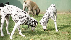 DSC03037 (agorayebm) Tags: dog dalmatian fila dlmata filabrasileiro