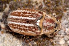 Anoxia (Mesanoxia) australis (Gyllenhal, 1817) (Jesús Tizón Taracido) Tags: coleoptera melolonthinae polyphaga scarabaeoidea melolonthidae melolonthini scarabaeiformia anoxiaaustralis