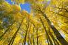 Autumn Color Palette (hazarika) Tags: california fallcolors blueskies sierras aspen sunstar canon1635mmf28liiusm canon5dmarkiii fall2015 mausamhazarikaphotography