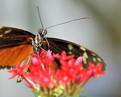 Heliconius sp JVA_0088 (mrjean.eu) Tags: sara sp atlas demi insectes attacus papillons heliconiinae deuil heliconius phaetusa dryatula