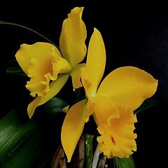 Cattleya Mericlone Blc. Husky Boy ' Romeo' BM/JGP'99 (Blc. Evergreen x Lc. Orglade's Glow). (Jesús 56) Tags: cattleya bulaklak flower زهرة fleur flor fiore цветочные λουλούδι 花 çiçek flors flores flowers fleurs fiori blumen orchidée orchid orquídea orkidé orchids orchidaceae orchidées orquídeas orquídia orquídies