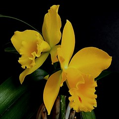 Cattleya Mericlone Blc. Husky Boy ' Romeo' BM/JGP'99 (Blc. Evergreen x Lc. Orglade's Glow). (Jess 56) Tags: cattleya bulaklak flower  fleur flor fiore    iek flors flores flowers fleurs fiori blumen orchide orchid orqudea orkid orchids orchidaceae orchides orqudeas orqudia orqudies