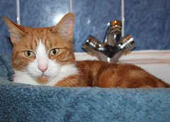 Charlie (Stuart Axe) Tags: pet cats pets cat bathroom ginger sink tabby kitty charlie freddie marmalade polydactyl polydactylcat tomcat gingercat tabbycat marmaladecat gingertom catsinsinks hemingwaycat kissablekat bestofcats gingertomcat catmoments charlieandfreddie friendsofzeusphoebe