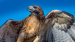 Ferruginous Hawk (Eric Gofreed) Tags: hawk ngc raptor ferruginoushawk
