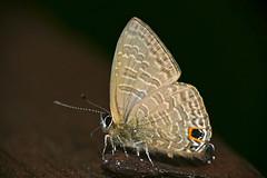 Sixline Blue (Nacaduba sp.) (berniedup) Tags: sarawak malaysia mulu lycaenidae polyommatinae nacaduba taxonomy:genus=nacaduba sixlineblue