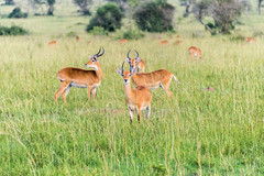 Kob Ugandese (Murchison Falls National Park) (MadGrin) Tags: africa travel parco nationalpark falls uganda uga impala viaggio murchison murchisonfallsnationalpark orientale cascate repubblica parconazionale northernregion