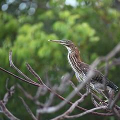 heron (Simone Scott) Tags: bird heron garden caymanislands caymanbrac simonescott