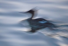 RED BREASTED MERGANSER By Angela Wilson (angelawilson2222) Tags: bird waterfowl redbreasted merganser water wild wildlife nature blue art arty blur iceland reykjavik nikon angela wilson