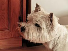 Finn, a friend's dog (annkelliott) Tags: calgary alberta canada animal domesticated pet dog finn friendsdog headshot hopingforfood cute indoor kitchen fall autumn 2october2016 fz200 fz2004 annkelliott anneelliott westie westhighlandwhiteterrier