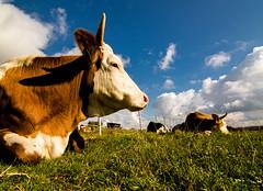 Kuh (rwfoto2013) Tags: kuh cow rind farm bauer