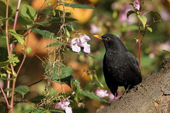 Male blackbird (david.england18) Tags: maleblackbird blackbird birdsuk smallbirds various tits blue coal great queensparkheywood canon7d canonef300mmf4lisusm