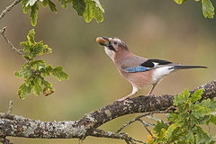 Jay (Garrulus glandarius) (phil winter) Tags:
