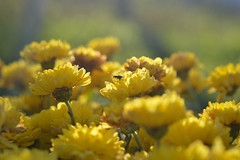 In The Middle of The Crowd (Alexandra Horvath) Tags: nature outdoor flower flowers garden plants animal hungary nikon d3200 depthoffield nikond3200 autumn fall yellow light sun bokeh chrysanthemum