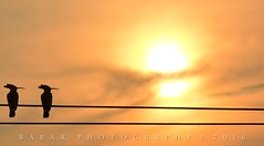 Hoope (Babar@Graphy) Tags: bird birds birding silhouette sunset wire couple golden light shade colors pakistan lahore punjab asia nikon