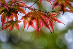 Japanese Maple Leaves (JPShen) Tags: leaf maple changing color red sunlight bokeh autumn