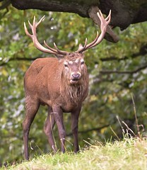 Red Deer (charlie.syme) Tags: red deer studley royal