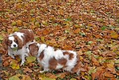 No! It's my ball... (Caulker) Tags: canonspark dogs cavalerkingcharlesspaniels 08112016