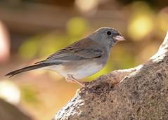 Dark-eyed Junco (JDA-Wildlife) Tags: birds nikon nikond7100 tamronsp150600mmf563divc jdawildlife johnny junco darkeyedjunco wow