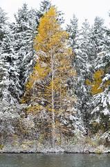 Birch (Greg Brandsgard) Tags: edmonton trees williamhawrelakpark fall2016 birch outside alberta spruce landscape canada fallcolours water flickr snow