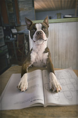 The Student (pumped2run) Tags: student school dog puppy boston terrier brown white table sitting math