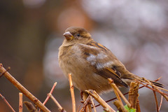 Morning Song (Alemap.1) Tags: sparrow bird macro portrait fall autumn bush nature