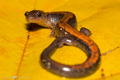 Eastern Red-Backed Salamander (Justin Florkowski) Tags: eastern redbacked salamander plethodon cinereus plethodoncinereus washtenaw
