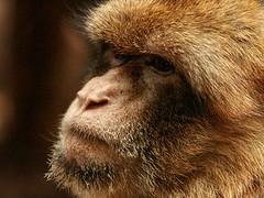Barbary Macaque (Standardwing) Tags: barbarymacaque macacasylvanus barcelonazoo cercopithecidae