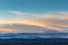 Perthshire Sunset - Geese (dalejckelly) Tags: canon goldenhour perthshire perth sunset scotland scottish autumn winter landscape snow mountain mountains hill hills trossachs 7dmarkii 70300l outdoor